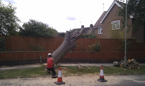 Whitebeam Tree Felling Action Shot