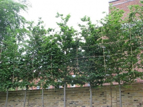 8 metre high pleached screening