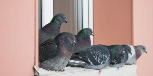 Bird Control Service Edinburgh