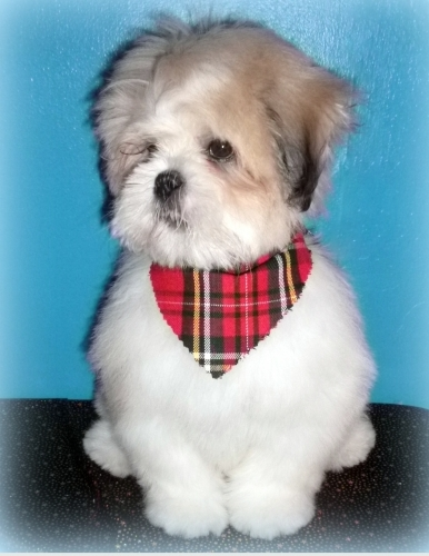 Winston is a Lhasa puppy who loves is dog grooming sessions!
