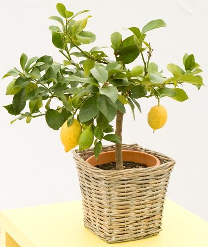 Lemon Trees in a range of sizes