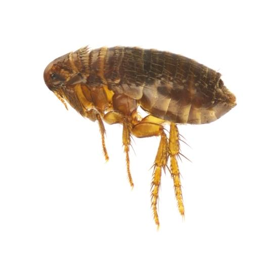 Flea Control Dorset and Hampshire