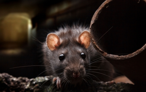 Rat Close Up Eye