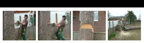 Steps to felling a 15 meter tree
