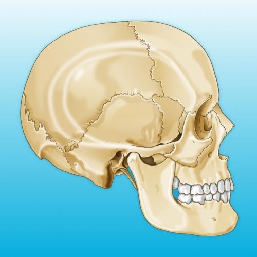 Illustration of Human Skull by 4pt Limited